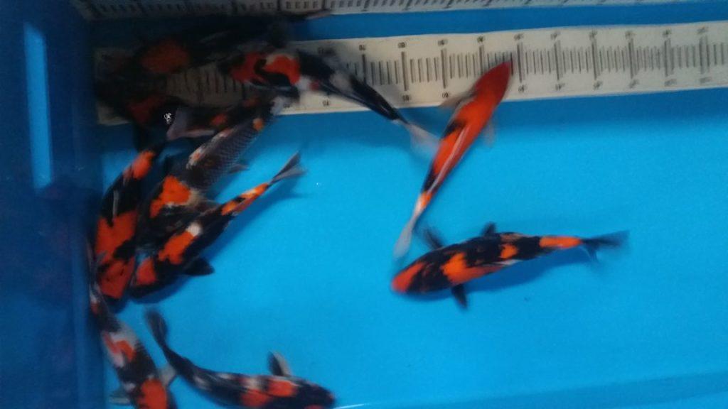 Harga Benih Ikan Koi Murah Dan Siap Kirim