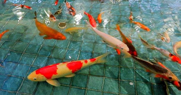 Cara Mengobati Dropsy Pada Ikan Koi
