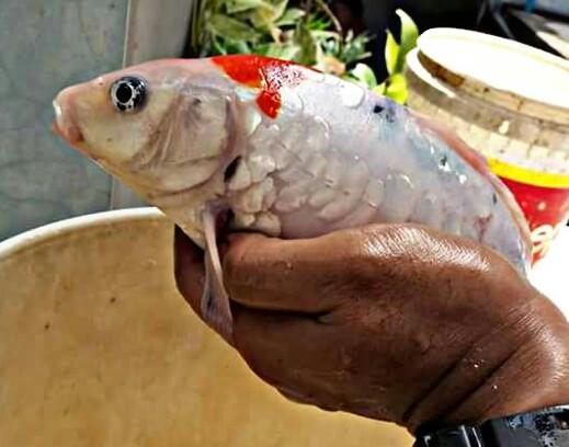 Tips Mengobati Dropsy Pada Ikan Koi