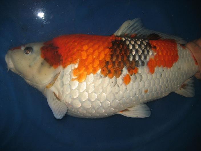 Penyakit Dropsy Pada Ikan Koi
