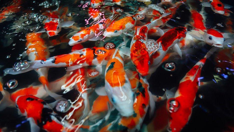 Penyakit Kutu Bulat Pada Ikan Koi
