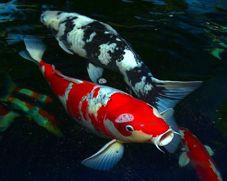 Tips Mengobati Penyakit Kutu Bulat Pada Ikan Koi