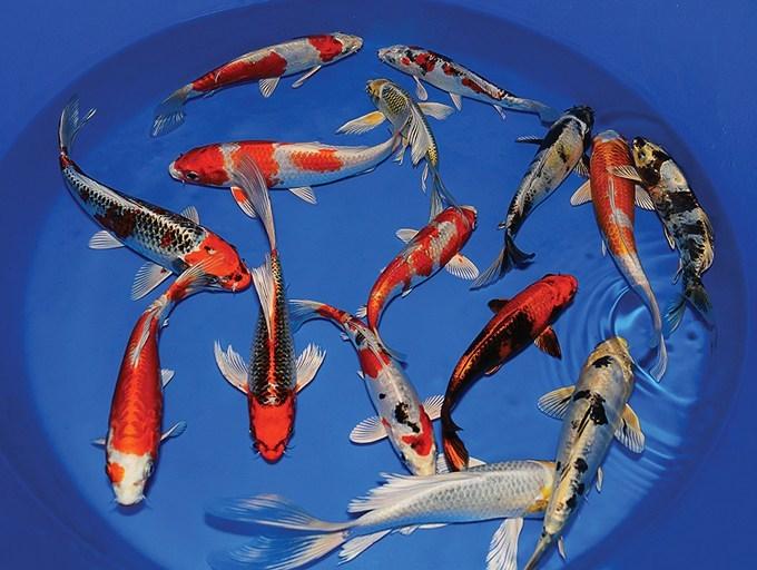 Tips Memelihara Ikan Koi Dengan Mudah