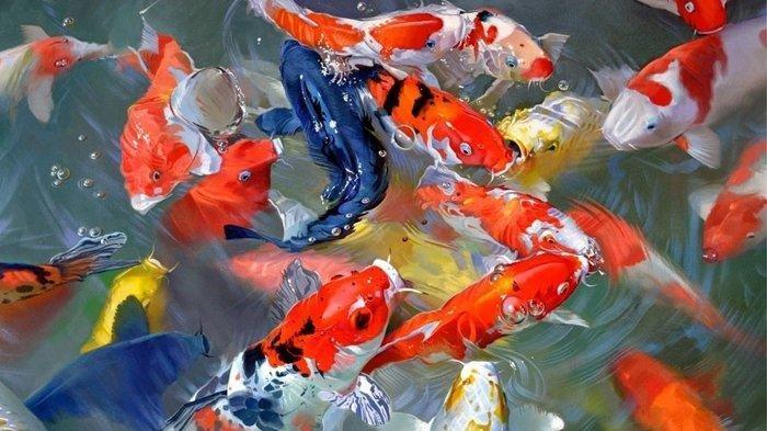 Bibit Ikan Koi Siap Kirim Harga Murah