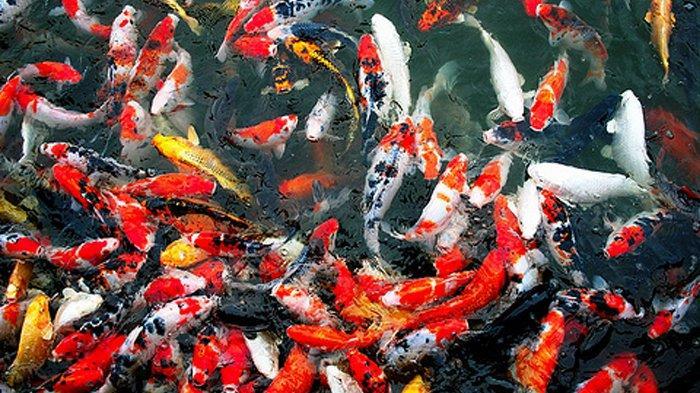 Strategi Pemasaran Ikan Koi Dengan Baik Dan Benar