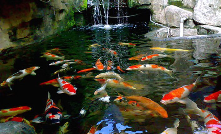 Jual Bibit Dan Indukan Ikan Koi Harga Murah